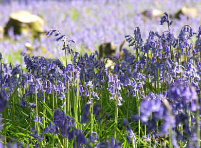 bluebells coppice