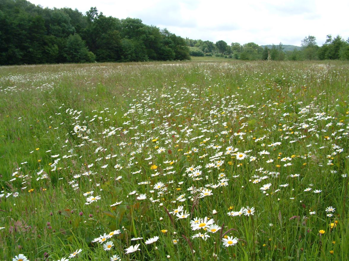 Celebrate the High Weald's Magnificent Meadows