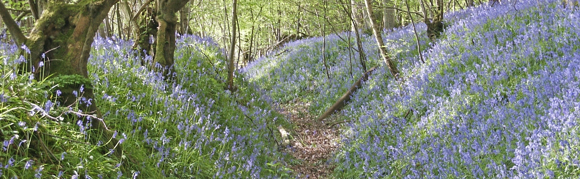 web homepage bluebell sunken path resize