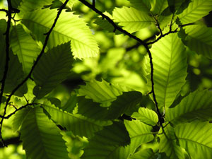 Sweet-Chestnut-Leaves-Flimw