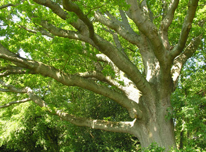 oak_tree_branches