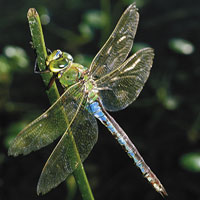 emerald_green_dragonfly