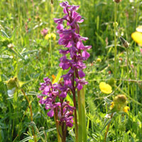 green_winged_orchid
