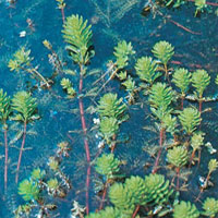 Water Milfoil